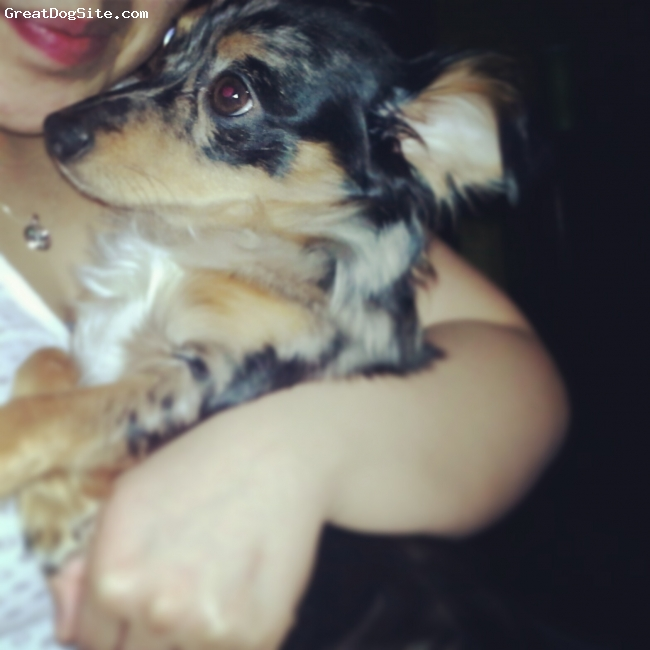 Chihuahua, 10mnths, chiwienie black white tan, My princess is a chiwienie ! Shes friendly and very loveable ! My little ball of happiness (:
