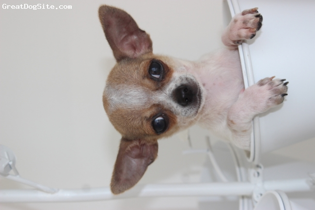 Chihuahua, 5 months old, chestnut, Meet one of my dogs, 小小( Xiao Xiao )or small small。Xiao Xiao is a 5 mos.old male chihuahua.He is very friendly and loves to meet new people.He is the new member of our family.