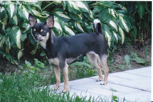Chihuahua, 4 years old, Black and Tan tri, Mitsy is a pretty black and tan tri Canadian Kennel Club (CKC) Registered cuddle bug, completely devoted to ME.  She loves to play with her buddies, Kiwi adn Harley Davidson!