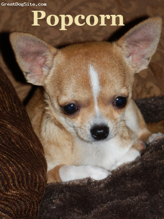 Chihuahua, 5 months, Beige, Popcorn is a beautiful Canadian Kennel Club registered short coat Chihuahua.  He is SO Sweet!