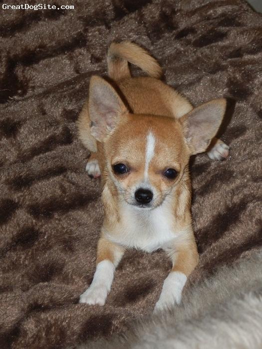 Chihuahua, 5 months, Beige, Carole's Tiny Dancer, aka Popcorn!