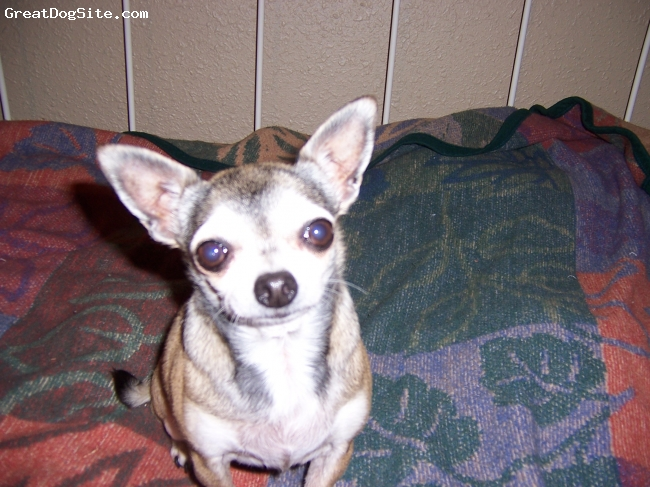 Chihuahua, 8, fawn, Friendly if she likes you aloof if she dont  gets along with other dogs and cats have only seen her chase a duck in aggression