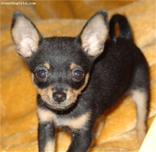 Chihuahua, 3, marv fawn, cute and tiny