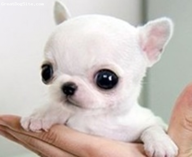 Chihuahua, 1, white, tiny small