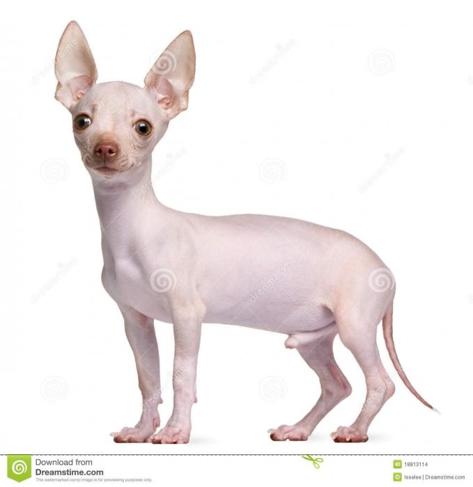 Chihuahua, 1, Cream, this chihuahua is hairless