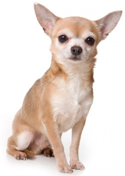 Chihuahua, 4, normal fawn, cute