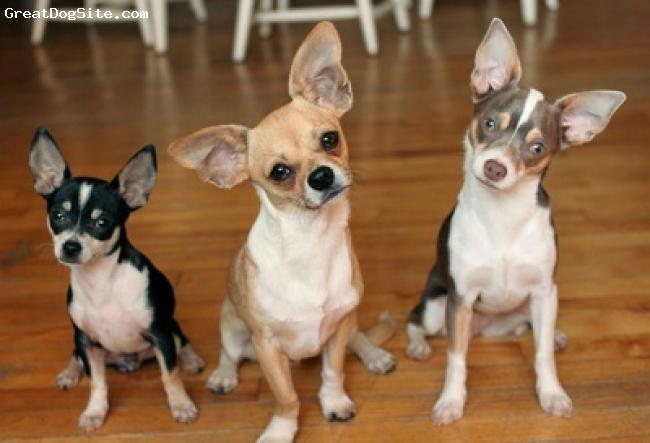Chihuahua, 7, fawn, cute