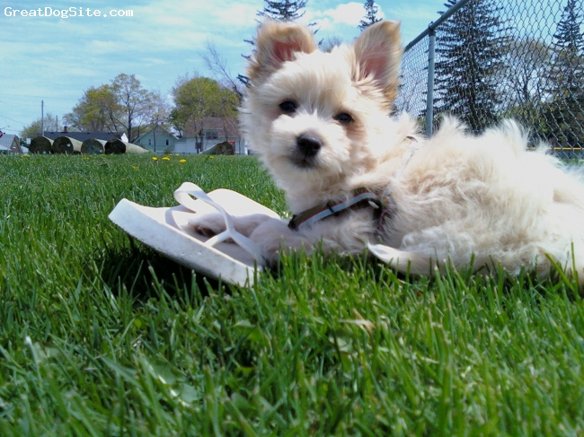 Chinaranian, 4 months, tan/white, I'm alway's stealing mommy's shoe!