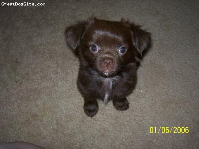 Chinaranian, 2 months, Brown, I am very photogenic