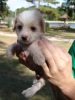 Chinese Crested, 7 weeks old, BLACK & WHITE & HAIRLESS