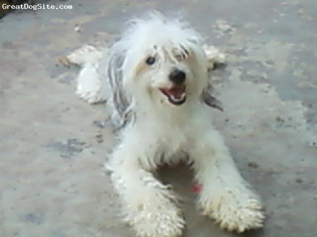 Chinese Crested, 1 year, slate and white, Miranda is a sweet powder puff little girl. Very loving.