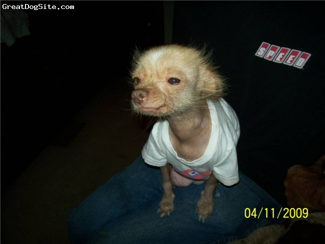 Chinese Crested, 2 years old, hairless, Lucy loves to be in the spotlight
