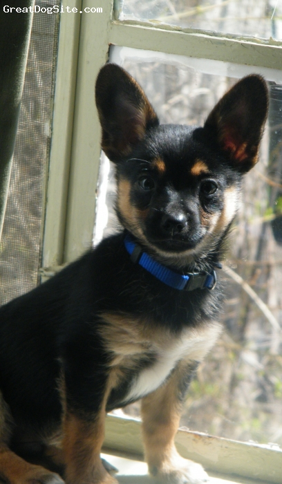 Chion, 6 Mo, Black & Tan, Mack is half  Chihuahua and half Papillon mix. His mom was a puppy mill rescue. We love him so much. mack also has a Papillion Brother and a rot/ shep sister. he is so smart . I would recommend this mix to anyone.