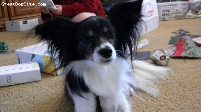 Chion, 2, Black and White, Miles was a rescue from a shelter we were always intersested in his breed.   We always thought he was just pure Papillon, but i was skeptic.  So i did research and i found a photo that looked just like him and our questios were awnered. i LOVE myCHION