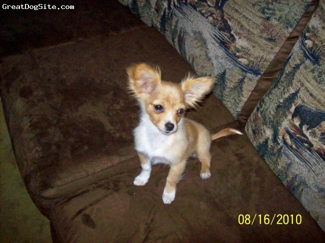 Chion, 4 Months, Fawn and white., Very affectionate. Beautiful body shape. Typical Papillion features.