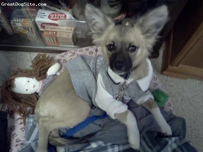 Chion, 8 months, tan, white, When I named my baby I never heard of a Papillion before so I thought since he was half and half I would name him Pappichi. I found that was not as creative as I thought because there are several Pappy's on the internet!! Anyway, he survived Parvo (3 weeks after his shots) and he has been a blessing to me. He is by far the most lovable dog I have ever had. He is extremely smart, as well as stubborn, and really fussy about his food. I just lost a 13 year old cat and dog two weeks apart and he has been there to comfort me. He sleeps in my arms every night. I think he is beautiful and in a few months I am going to mate him with his cousin who had the same Papillion father and a different chihuahua mother. Hopefully we can get another Pappichi!!
