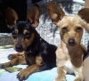 Chipin, 2, BLACK AND TAN AND SANDY