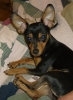 Chipin, 2 years, black and tan