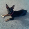 Chipin, 5months, black/tan