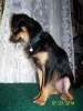 Chipin, 3 yrs, Black and Tan