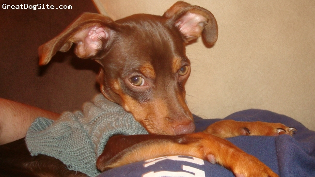 Chipin, 1, brown/tan, very smart, learned quickly, loves going to the dog park to play with the bigger dogs.