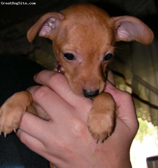 Chipin, 10 weeks, Black/Tan, Adorable, loving, playful, precious, little boy!  We breed these precious little cuties each year!  Check out our ads on here!