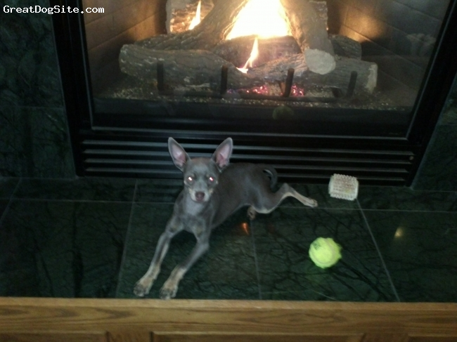 Chipin, 1 year, grey, very hyper and fun loving.  loves other dogs and even though she is little she loves to play with big animals.  Her favorite thing to do is lay by the fire.