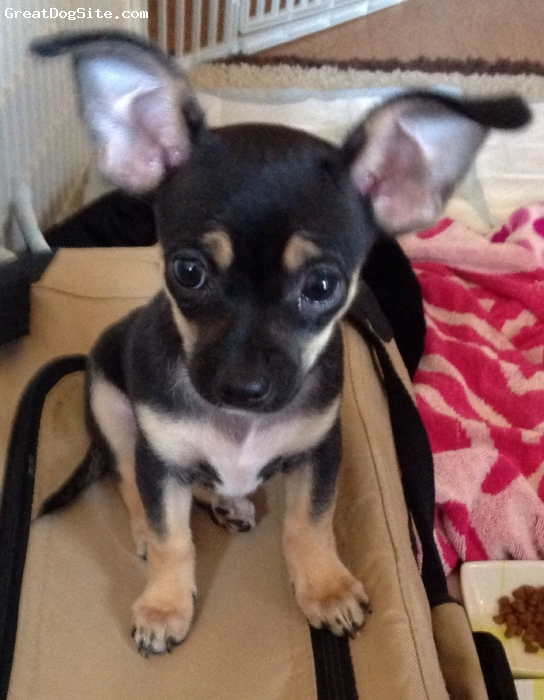 """Chipin, 3 months, Black / cream, I found Bentley in front of a Walmart. We are in Arizona . It was hot outside. I picked him up and asked how much? She said, """"$30."""" I said ,don't sell him I want him. I will be right back. He is so precious. From the moment I held him  until now, he has been the joy of my life. He is so lovable, friendly non-barking. He is smart and high energy . We play for hours at a time. He is also a cuddler. I was told he was a pure bred Chihuahua, but after having him for almost a month, he is nothing like my sisters dogs. I'm so blessed to have him. He's adorable and stops everyone in their tracks when they see him..."""