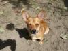 Chiweenie, 1 year, fawn