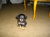 Chiweenie, 2 Months, Black and Tan