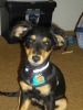 Chiweenie, 5 months, Black and Tan