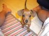 Chiweenie, 4 Months, Brown