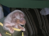 Chiweenie, 8 weeks, Taupe