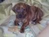 Chiweenie, 4 Months, Brindle