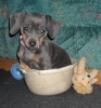 Chiweenie, 5 1/2 months, Blue