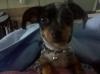 Chiweenie, 9 months, Dapple