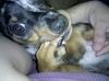 Chiweenie, 9 months., Dapple