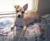 Chiweenie, 6 months, brown