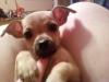 Chiweenie, 6 months, Tan