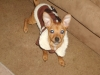 Chiweenie, 2YRS, SANDY BROWN