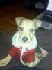 Chiweenie, 3 months, brown