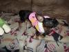 Chiweenie, 10 Months, Black & Tan