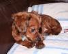 Chiweenie, 6 months, red