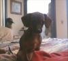 Chiweenie, 6 monthe, brown