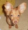Chiweenie, 6 months, copper