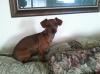 Chiweenie, 7 months, Red
