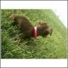 Chiweenie, 4, brown