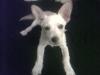 Chiweenie, 5 months, Tan