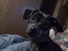 Chiweenie, 1 year, Dapple