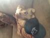 Chiweenie, 7 months, Fawn